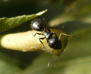 Cerf fourmi 21